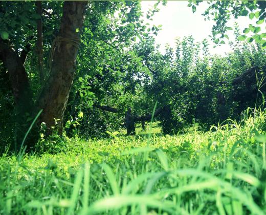 草生栽培 写真
